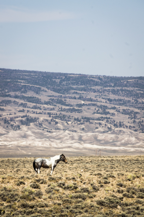 A Wild Paint Horse in Wyoming