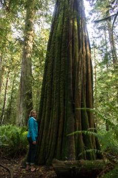 Monster Cedars
