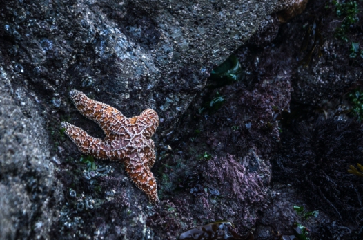 Starfish in the inter-tidal zone