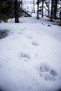 Fresh Wolf Tracks!