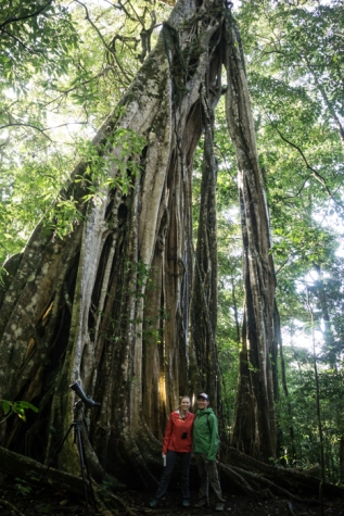 "A ""Cathedral"" Fig Tree In Monteverde"